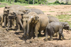 Sri Lankan Elephants Stock Images