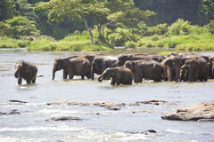 Sri Lankan Elephants Crossing River Stock Images