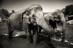 Sri Lankan Elephants Looking Standing Concept Royalty Free Stock Photography