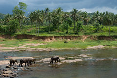 Sri Lankan elephants walking in a riverbed Stock Photography