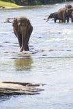 Sri Lankan Elephants in Water Royalty Free Stock Photos