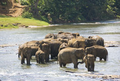 Sri Lankan Elephants in Water Royalty Free Stock Photography