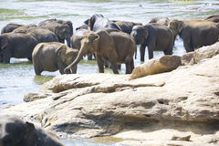 Sri Lankan Elephants in Water Stock Photography