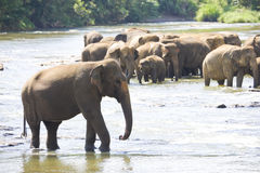 Sri Lankan Elephants in Water. Image of elephants bathing in a river at Pinnawala-Rambukkana, Sri Lanka Stock Photos