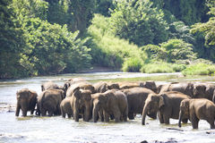 Sri Lankan Elephants in Water. Image of elephants bathing in a river at Pinnawala-Rambukkana, Sri Lanka Royalty Free Stock Images