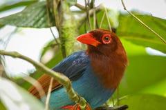 Sri Lankan endemic Ceylon Blue Magpie Urocissa ornata. stock photos