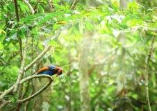 Ceylon Blue Magpie Urocissa ornata. Sri Lankan endemic Ceylon Blue Magpie Urocissa ornata Stock Photography