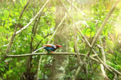 Ceylon Blue Magpie Urocissa ornata. Sri Lankan endemic Ceylon Blue Magpie Urocissa ornata Stock Photo