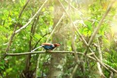 Ceylon Blue Magpie Urocissa ornata stock photo