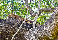 Sri Lankan Endemic Leopard - Panthera Pardus Kotiya. The population of Sri Lankan Leopard is believed to be declining due to numerous threats including royalty free stock photo