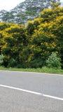 Sri lankan fiowerträd Abeautiful träd royaltyfri bild