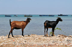 Sri Lankan Goats on island with fisherboats Stock Image