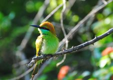 Sri Lankan Green Bee-Eater perched on a branch Royalty Free Stock Images