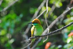 Sri Lankan Green Bee-Eater perched on a branch Royalty Free Stock Image
