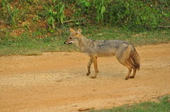 Sri Lankan Jackal. A jackal in Yala National Park, Sri Lanka Stock Photo