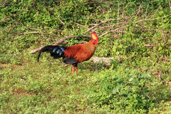 Sri Lankan junglefowl Royalty Free Stock Photo