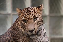 Sri lankan leopard Stock Photos