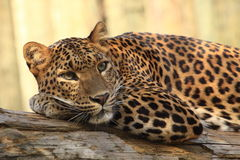 Sri lankan leopard Royalty Free Stock Image