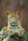 Sri lankan leopard. The sri lankan leopard lying on the wood Stock Image