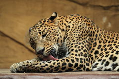 Sri lankan leopard Royalty Free Stock Photo