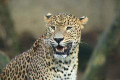 Sri lankan leopard Royalty Free Stock Images