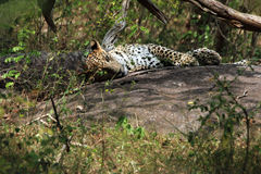 Sri Lankan Leopard Royalty Free Stock Images