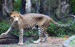 Sri Lankan leopard. Leopard is one type of mysterious felid, very beautiful Royalty Free Stock Photos