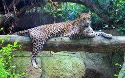 Sri Lankan leopard. Leopard is one type of mysterious felid, very beautiful Stock Photography