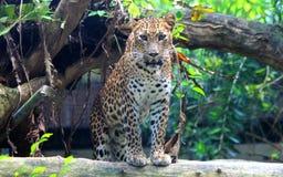 Sri Lankan leopard. Leopard is one type of mysterious felid, very beautiful Royalty Free Stock Image