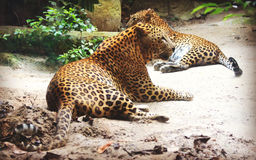 Sri Lankan leopard. Leopard is one type of mysterious felid, very beautiful Royalty Free Stock Photography