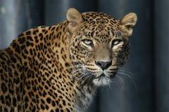 Sri Lankan leopard Royalty Free Stock Photography