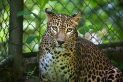 Sri Lankan leopard Panthera pardus kotiya Stock Images