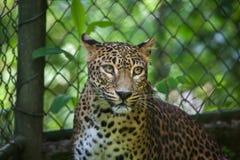 Sri Lankan leopard Panthera pardus kotiya Royalty Free Stock Photo