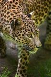Sri Lankan leopard Panthera pardus kotiya Royalty Free Stock Image