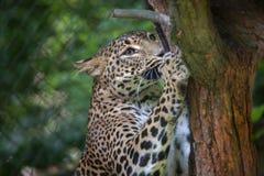 Sri Lankan leopard Panthera pardus kotiya Royalty Free Stock Photography