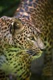 Sri Lankan leopard Panthera pardus kotiya. Also known as the Ceylon Leopard Stock Photos