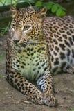 Sri Lankan leopard Panthera pardus kotiya. Also known as the Ceylon Leopard Stock Photo