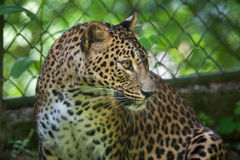 Sri Lankan leopard Panthera pardus kotiya. Also known as the Ceylon Leopard Stock Image