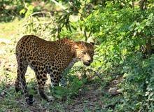 Sri Lankan leopard,  Panthera pardus kotiya,  going through wildlife. Big spotted cat in jungle at Sri Lanka Stock Images