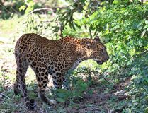 Sri Lankan leopard,  Panthera pardus kotiya,  going through wildlife. Big spotted cat in jungle at Sri Lanka Stock Photo