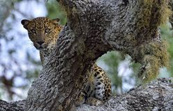 The Sri Lankan leopard Panthera pardus kotiya Royalty Free Stock Photography