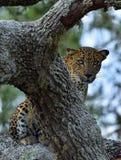 The Sri Lankan leopard Panthera pardus kotiya. Leopard female. The Sri Lankan leopard Panthera pardus kotiya. Yala national park. SriLanka Royalty Free Stock Image