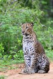 Sri Lankan leopard. Panthera pardus kotiya Royalty Free Stock Photo