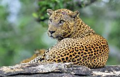 The Sri Lankan leopard Panthera pardus kotiya male. Stock Photography