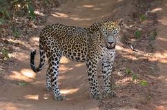 Sri Lankan Leopard - Panthera Pardus Kotiya, Royalty Free Stock Images