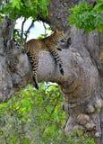 The Sri Lankan leopard Panthera pardus kotiya on the tree. Leopard on a tree. The Sri Lankan leopard Panthera pardus kotiya. Sri Lanka. Yala National Park Stock Photo