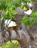 The Sri Lankan leopard Panthera pardus kotiya on the tree. Leopard on a tree. The Sri Lankan leopard Panthera pardus kotiya. Sri Lanka. Yala National Park Stock Photos