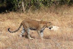 Sri Lankan Leopard. (Panthera Pardus Kotiya) Walking in Grass, Yala, Sri Lanka Royalty Free Stock Images