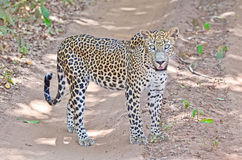 Sri Lankan Leopard - Panthera Pardus Kotiya At Wilpattu National Park. Sri Lanka, officially the Democratic Socialist Republic of Sri Lanka, is an island country Royalty Free Stock Photo
