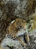 The Sri Lankan leopard Panthera pardus kotiya. Yala national park. SriLanka. Leopard female. The Sri Lankan leopard Panthera pardus kotiya. Yala national park Royalty Free Stock Image